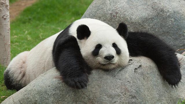 File:Cute-Pandas-pandas-35203709-1280-720.jpg