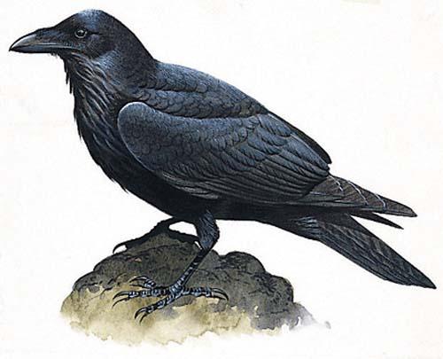 File:Raven 005.jpg