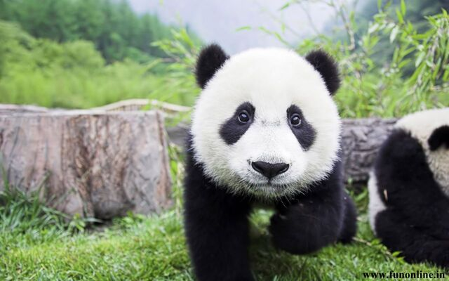 File:Cute-Baby-Panda-HD-Wallpaper.jpg