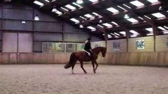 Sir Maestro - Trakehner Horse - Dressage horse-0