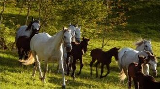 NATURE Lipizzaner Foals Legendary White Stallions PBS