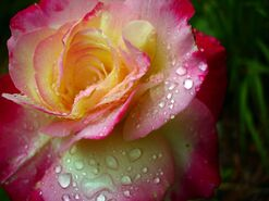 Raindrops-on-rose-google-images