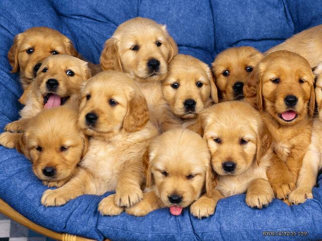 File:Golden-retriever-puppies.jpg