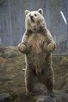 Ursus arctos - Norway