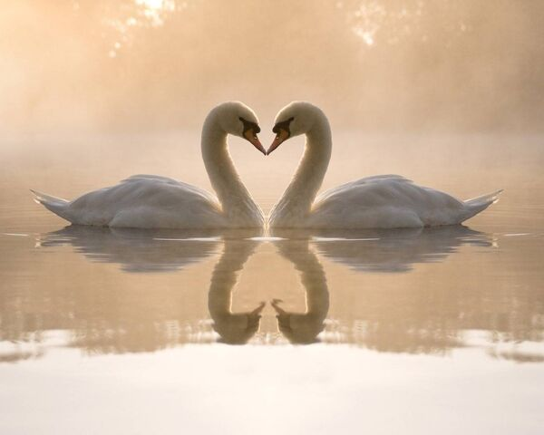 File:49521-love-loving-cute-swans.jpg