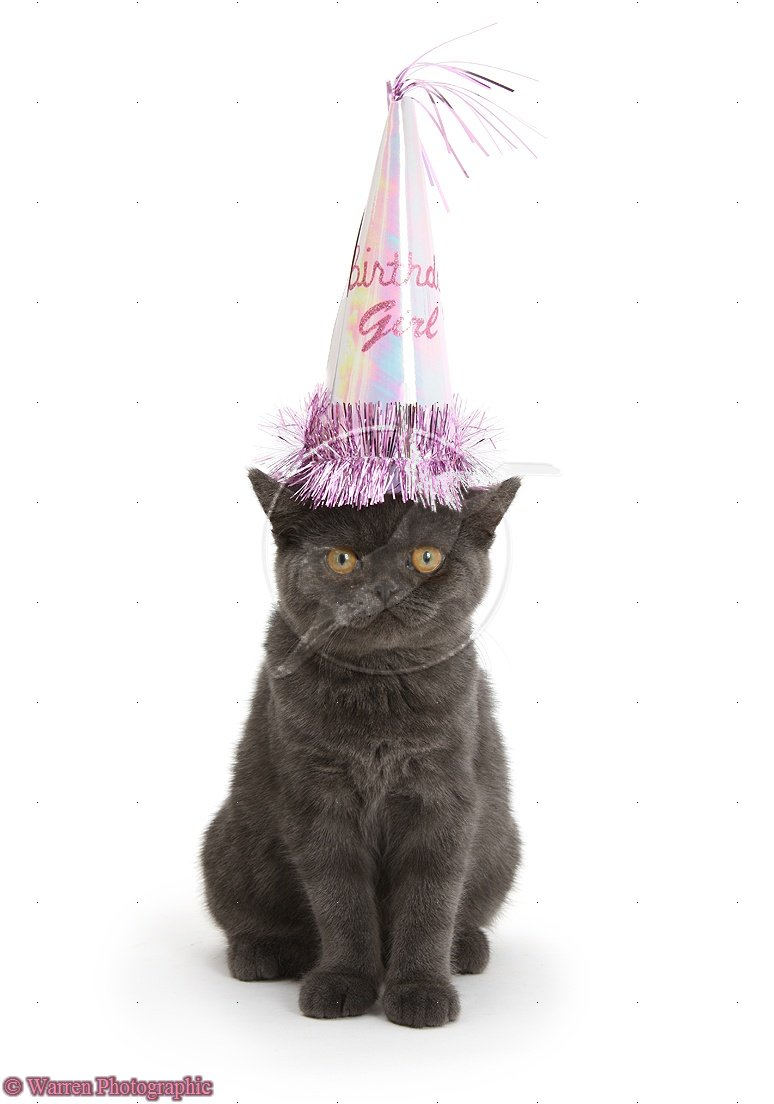 18227 Grey Kitten Wearing A Party Hat White Background