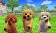 Tres Caniches Toy en Nintendogs + Cats