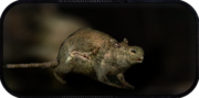 Wilczy szczur
