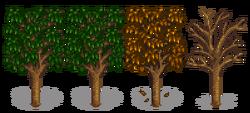Абрикосовое дерево 5