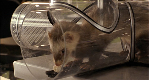File:Cyrano the ferret.jpg