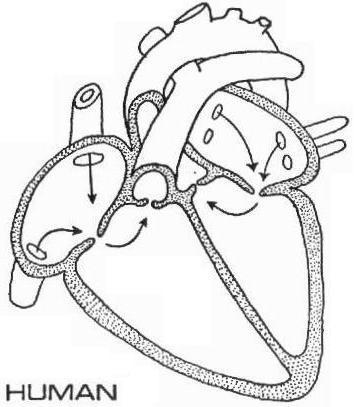 Image human heart diagramg memory beta non canon star trek filehuman heart diagramg ccuart Gallery