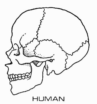 image - human skull diagram | memory beta, non-canon star trek, Wiring diagram