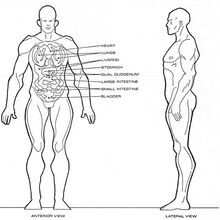 Homo sagittarii physiology