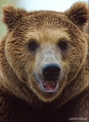 European-brown-bear