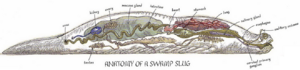 Swamp slug anatomy