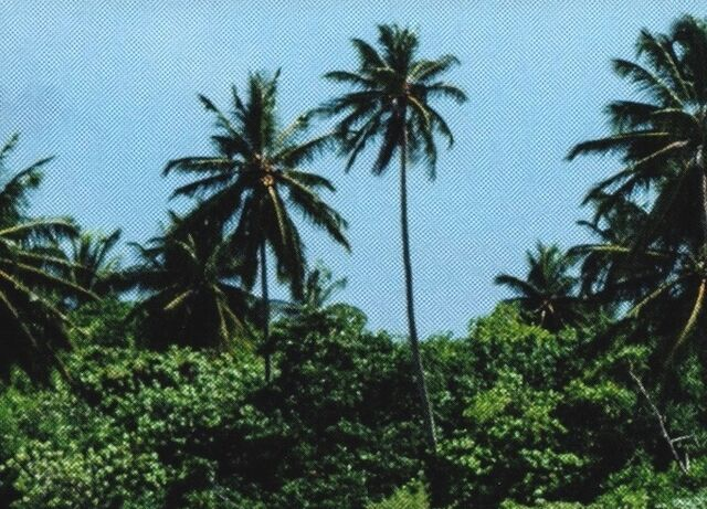 File:Areca nut palm tree-ROUVG.jpg