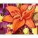 Flower Shop Summer In Fairbrook Emoticon orangelily
