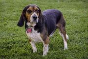 Bronco the Beagle