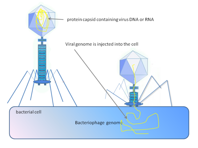 File:Phage injecting its genome into bacterial cell.png