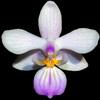 Phalaenopsis lindenii thumb