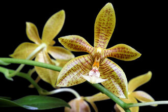 Phalaenopsis Man Force