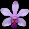 Phalaenopsis honghenensis thumb