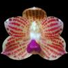 Phalaenopsis javanica thumb