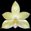 Phalaenopsis floresensis thumb
