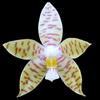 Phalaenopsis pallens thumb