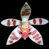 Phalaenopsis maculata thumb