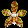 Phalaenopsis reichenbachiana thumb