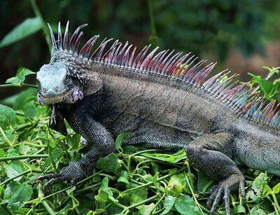 Rainbow-iguana-michael-thomas
