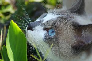 Prettygraywitblueeyescat