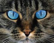 Blue Eyed Tabby Cat by OnlyAngel55