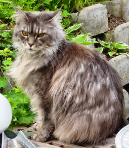 File:Maine-coon1.png