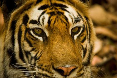 Portrait-of-an-indian-tiger-panthera-beverly-joubert