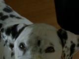 Dalmatian 1 (4.18)