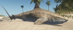 Dead tiger shark