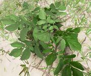 Wild Potato Plant