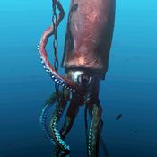 GiantSquid Icon