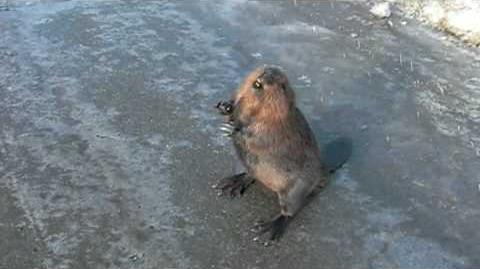 Talking Beaver on the Hiway