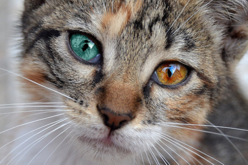 File:Cat-multi-colored-eyes-closeup-face.png