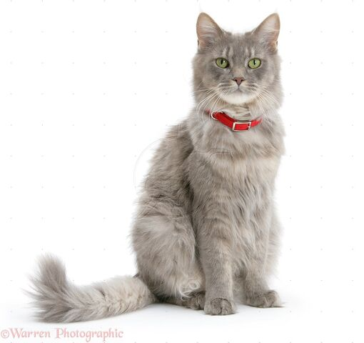 File:26805-Maine-Coon-wearing-a-red-collar-white-background.jpg