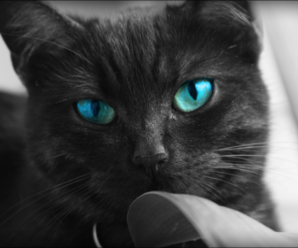 Image Black Cats Blue Eyes Animals Desktop 968x648 Hd Wallpaper