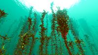 Arctic Kelp Forest Biome
