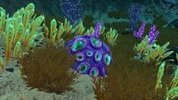 Purplebraincoral5