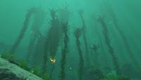 Kelp Forest Infobox