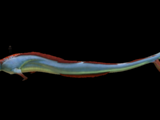 Leviathan Class Organisms