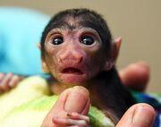 Baby Socki Monkin