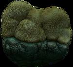 BrainCoralInfobox